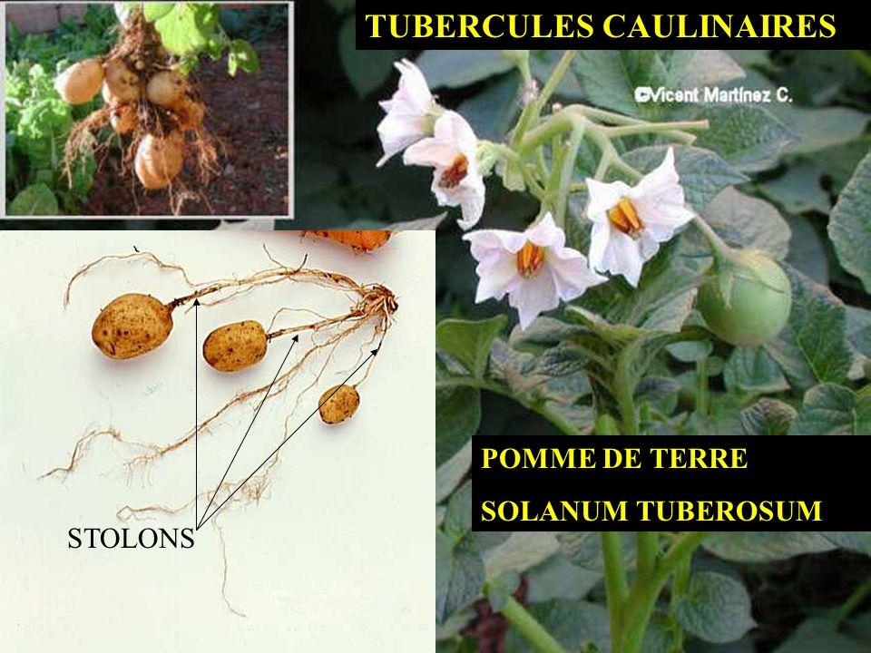 TUBERCULES CAULINAIRES