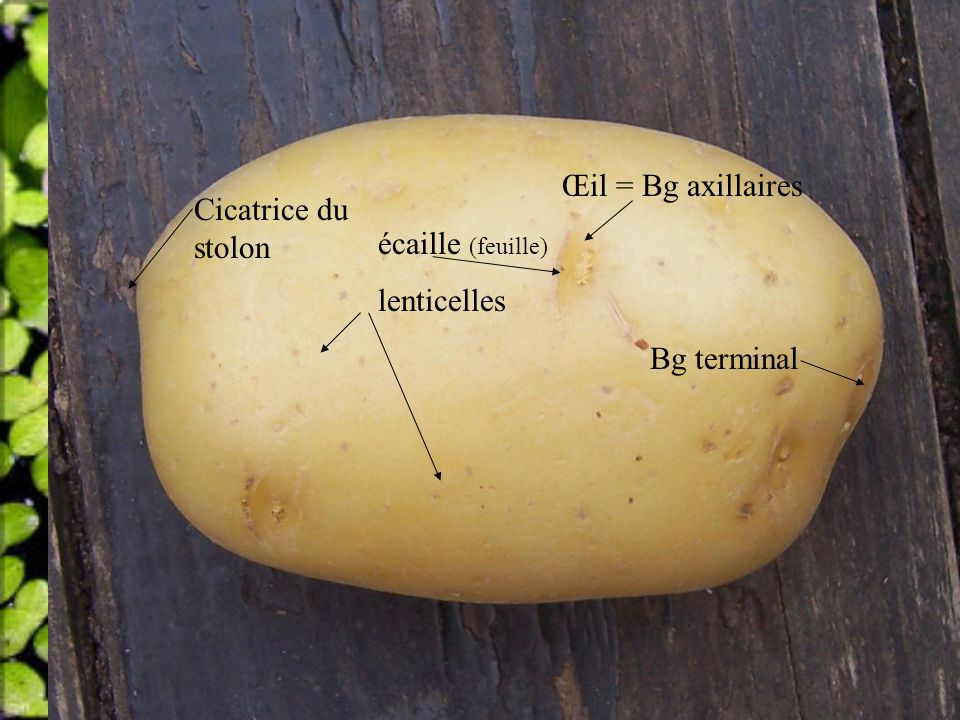 Œil = Bg axillaires écaille (feuille) lenticelles Bg terminal Cicatrice du stolon