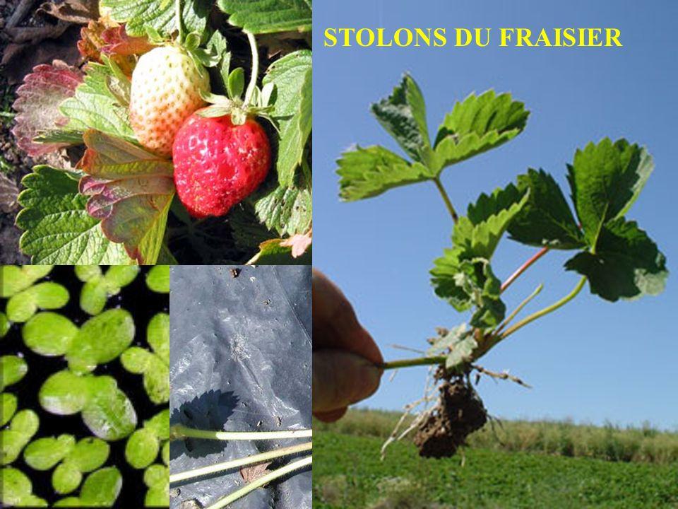 STOLONS DU FRAISIER