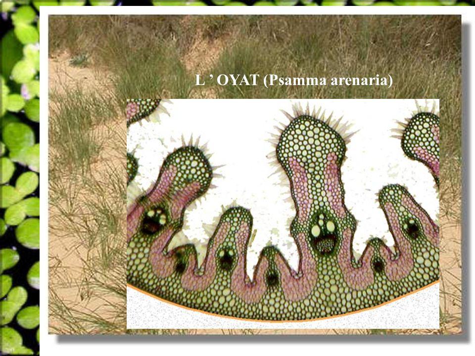 L ' OYAT (Psamma arenaria)
