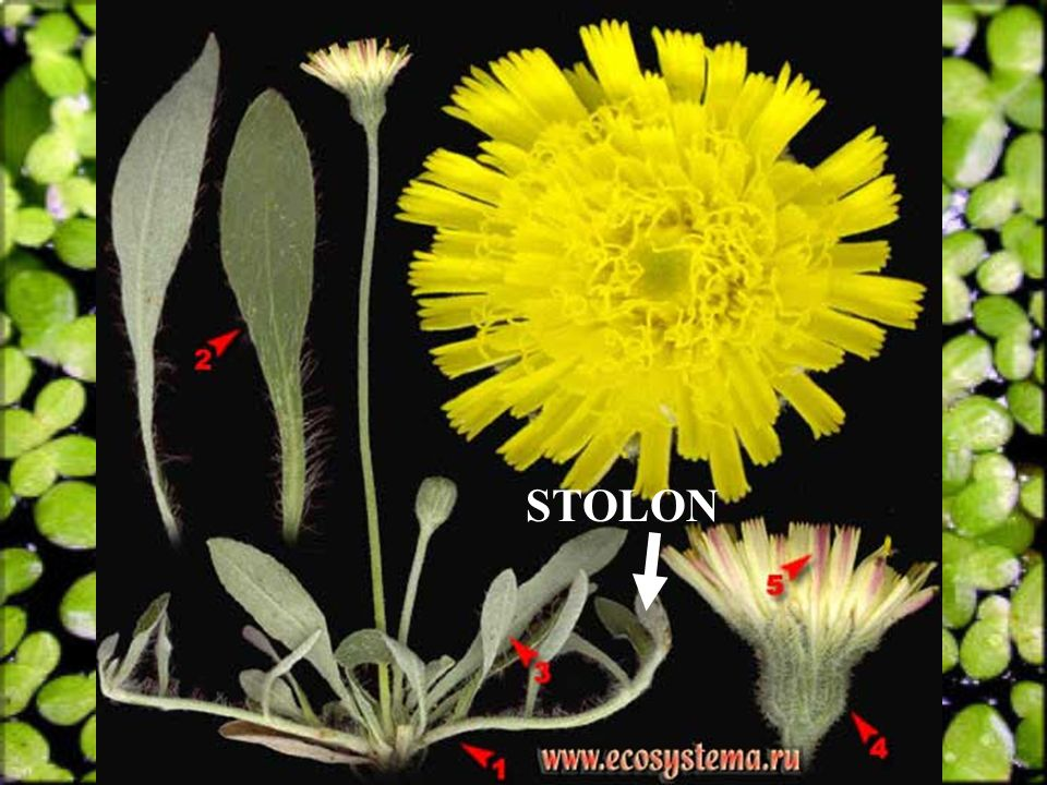 STOLON