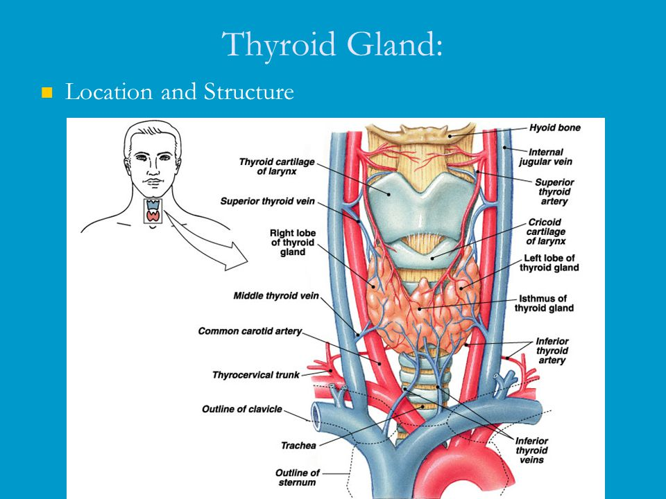 thyroid glands essay The word part needed to complete the term meaning incision of the thyroid gland, thyroid/o/_____, is: tomy the abbreviation for the medical term for the procedure that assesses thyroid function by testing the ability of the thyroid gland to trap and retain radioactive iodine following oral ingestion of the iodine is.