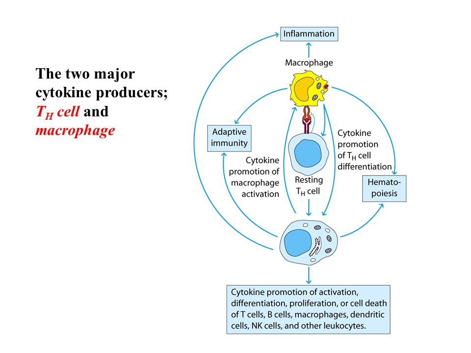 The two major cytokine producers; TH cell and macrophage