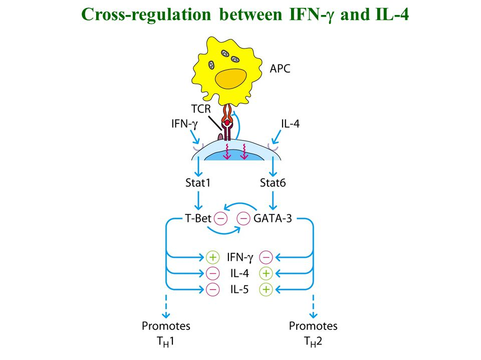 Cross-regulation between IFN-g and IL-4