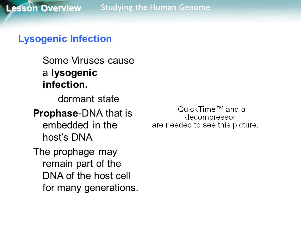 Lysogenic Infection Some Viruses cause a lysogenic infection. dormant state. Prophase-DNA that is embedded in the host's DNA.
