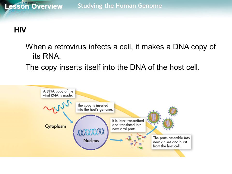 HIV When a retrovirus infects a cell, it makes a DNA copy of its RNA.