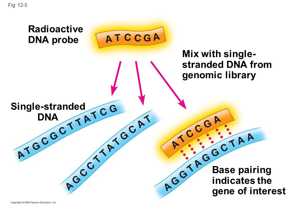 Radioactive DNA probe Mix with single- stranded DNA from