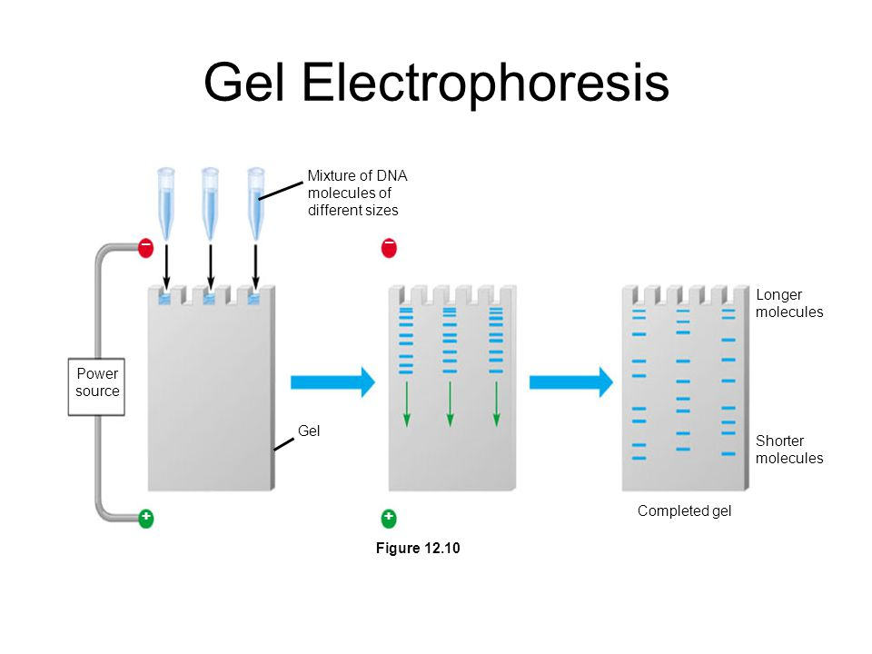 Gel Electrophoresis – + Mixture of DNA molecules of different sizes