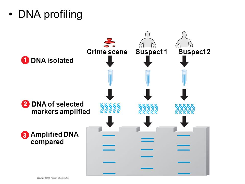 DNA profiling Crime scene Suspect 1 Suspect 2 DNA isolated
