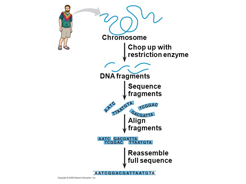 Chromosome Chop up with. restriction enzyme. DNA fragments. Sequence. fragments. Align. fragments.