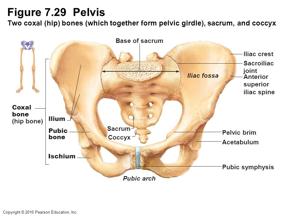 Attractive Pelvic Bony Anatomy Inspiration - Human Anatomy Images ...