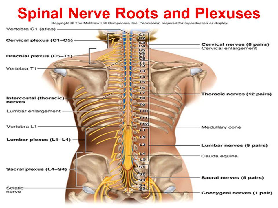 Tolle Lumbar Spine Nerve Root Anatomy Fotos - Menschliche Anatomie ...