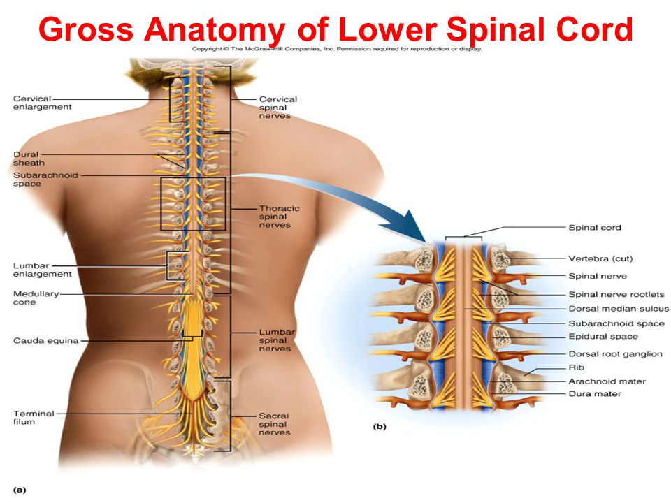 spinal cord anatomy and physiology pdf
