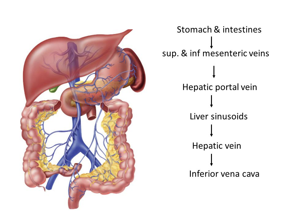 Stomach & intestines sup. & inf mesenteric veins Hepatic portal vein ...