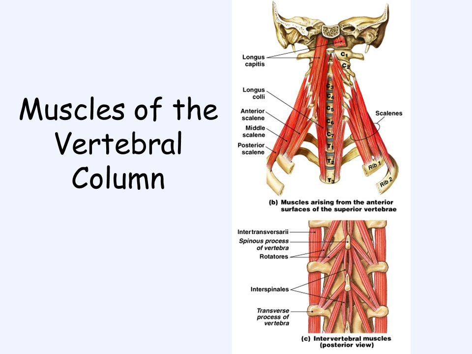 Muscles Chapter ppt video online download