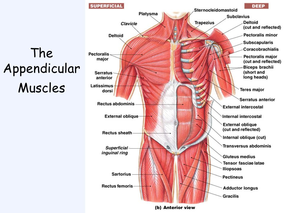 appendicular muscles - Parfu kaptanband co