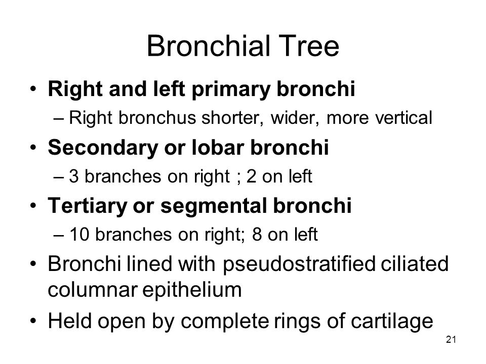 Bronchial Tree Right and left primary bronchi