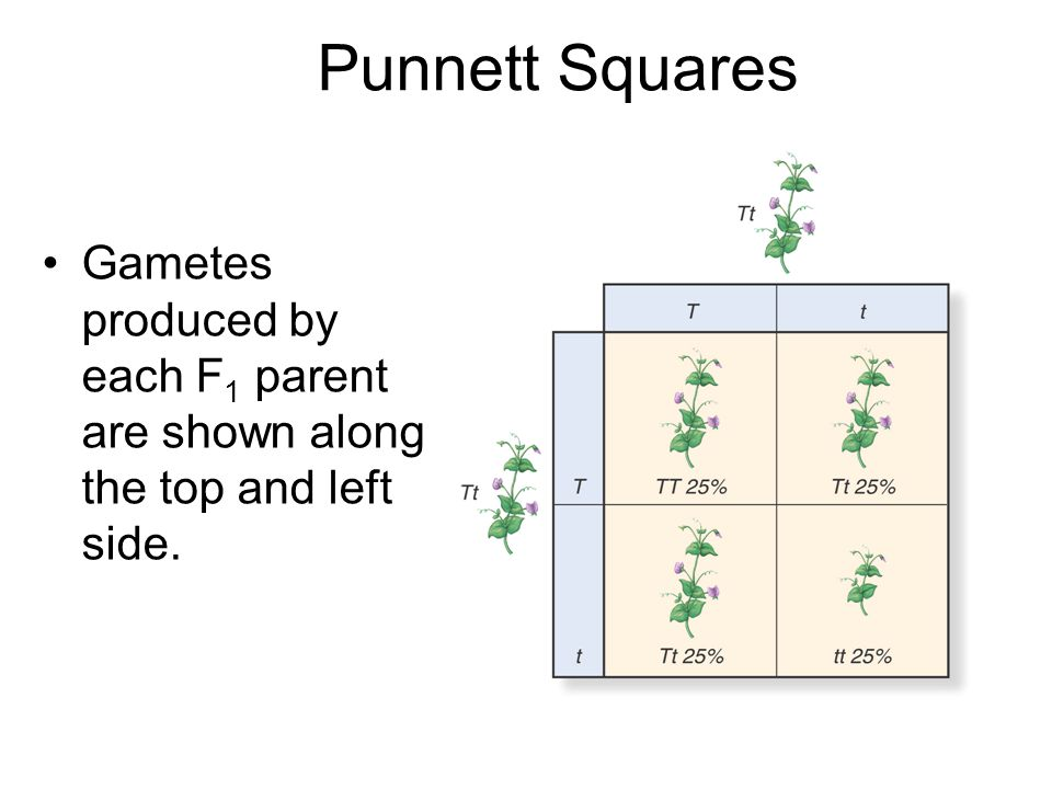 punnett squares 1 set up a 2 by 2 punnett square 2 write the alleles for parent 1 on the left side of the punnett square each gamete will have one of the two alleles of the parent in this particular cross, half of the gametes will have the dominant (s) allele, and half will have the recessive (s) allele.
