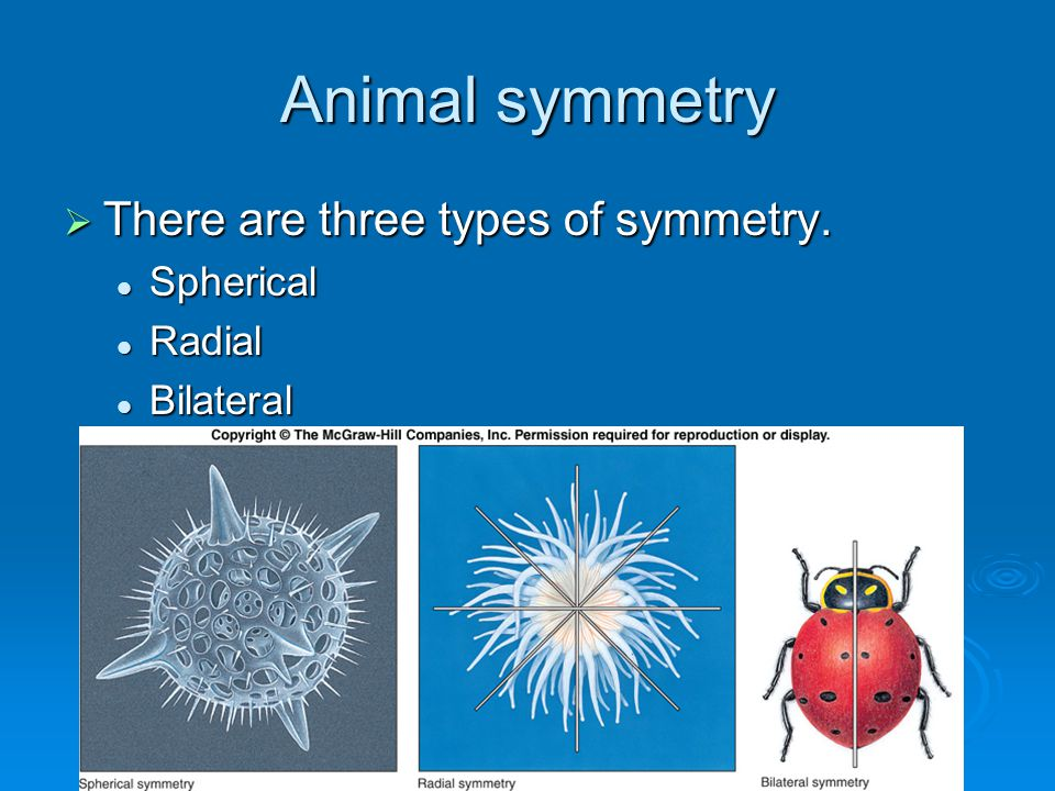 animal symmetry and functions Animals with radial symmetry • have two embryonic tissue (germ) layers - ectoderm (outer layer which covers the body, lines its inner cavities, and forms the.
