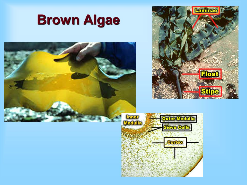 Brown Algae Brown algae exhibit the most complexly differentiated thalli.
