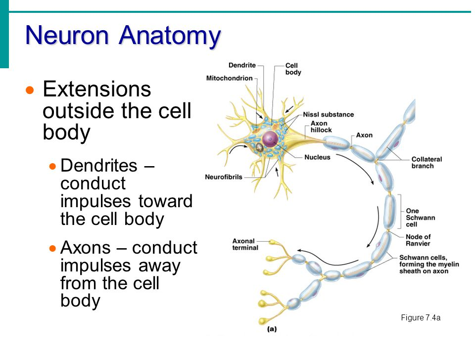 neuron cell body from - photo #8