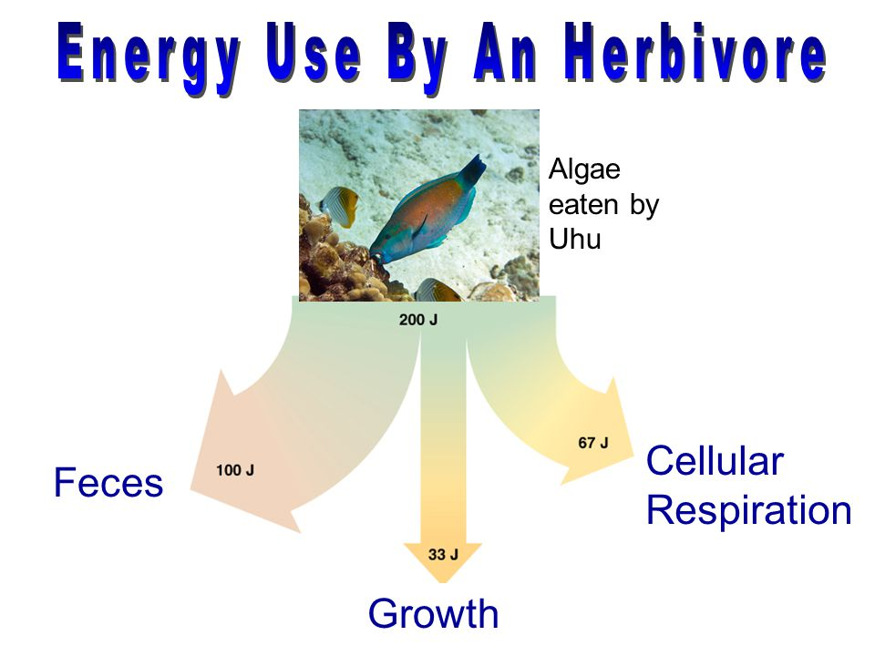 Energy Use By An Herbivore