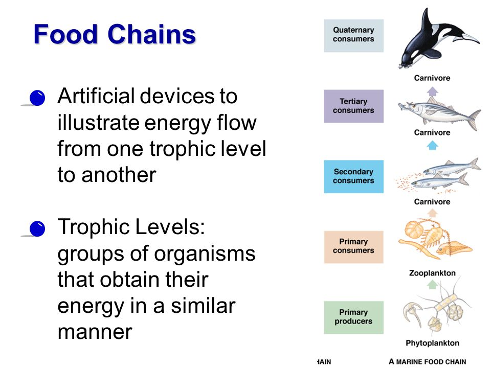 Food Chains Artificial devices to illustrate energy flow from one trophic level to another.