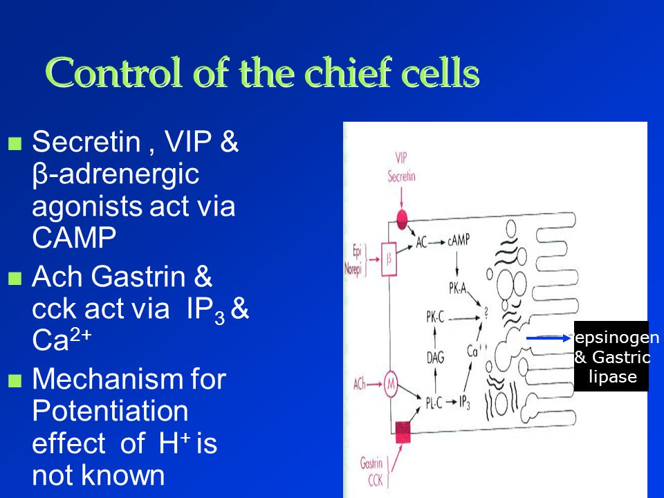 Control of the chief cells