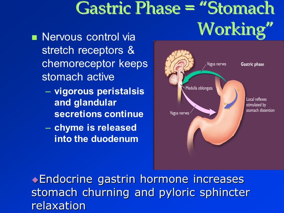 Gastric Phase = Stomach Working