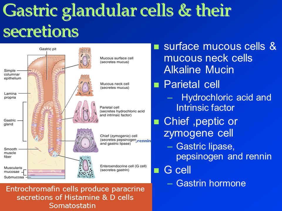 Gastric glandular cells & their secretions