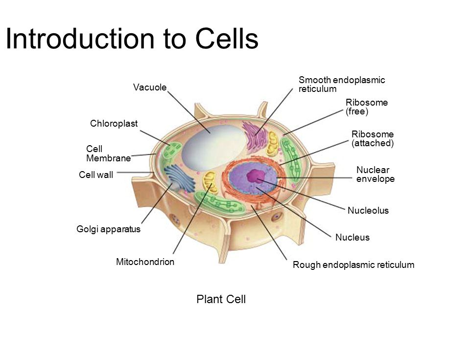 Introduction to cells plant cell smooth endoplasmic vacuole introduction to cells plant cell smooth endoplasmic vacuole reticulum malvernweather Image collections