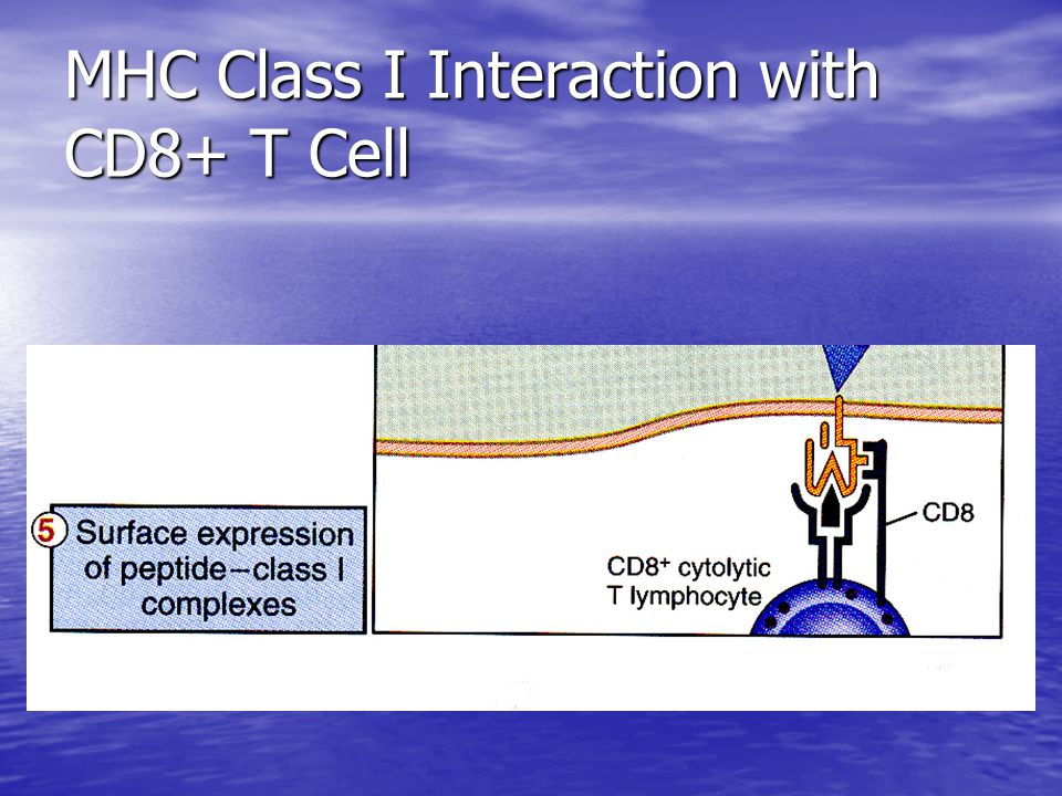 MHC Class I Interaction with CD8+ T Cell