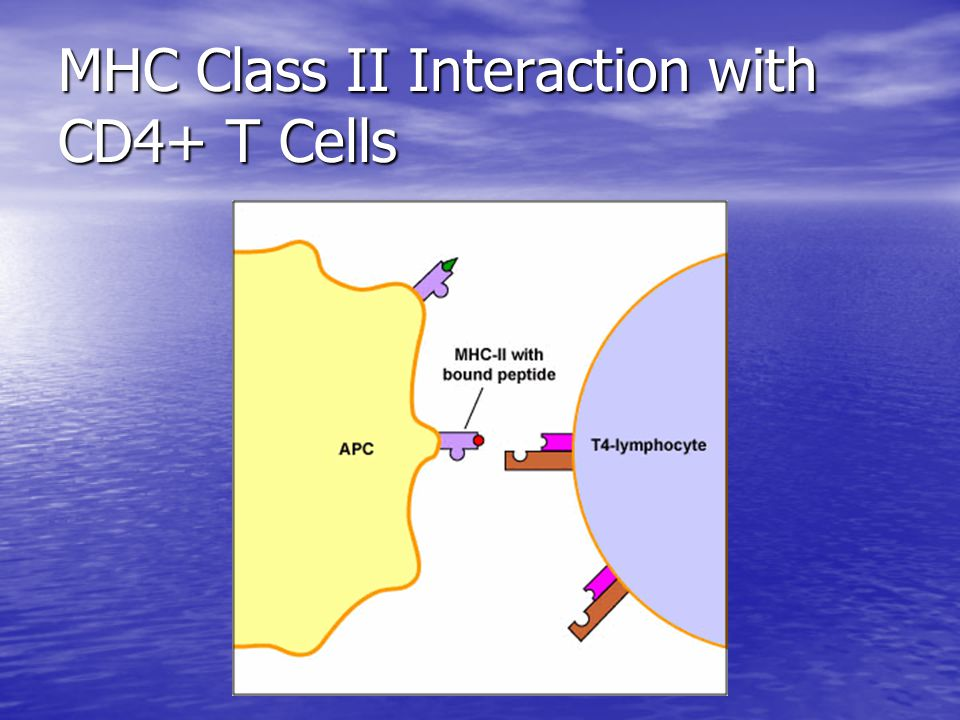 MHC Class II Interaction with CD4+ T Cells