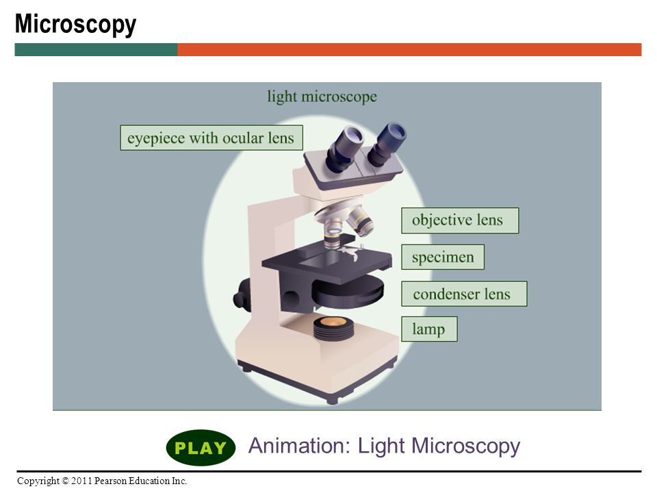 Microscopy staining and classification ppt video online download 22 animation light microscopy ccuart Images