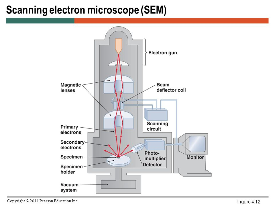 Microscopy staining and classification ppt video online download scanning electron microscope sem ccuart Images