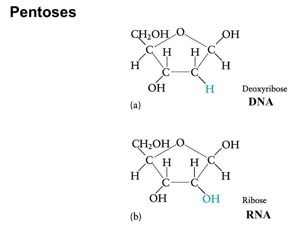 Pentoses DNA RNA