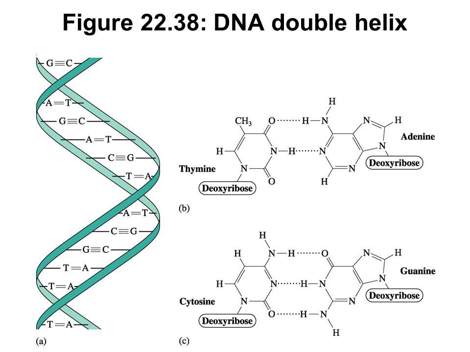 Figure 22.38: DNA double helix