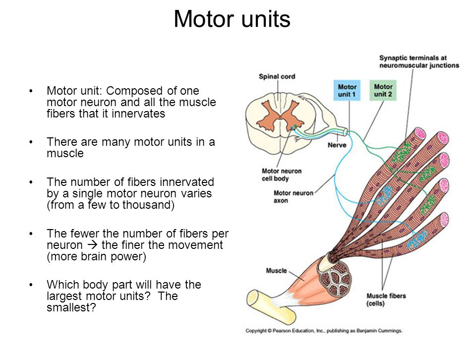 what are the parts of a motor unit impremedia net