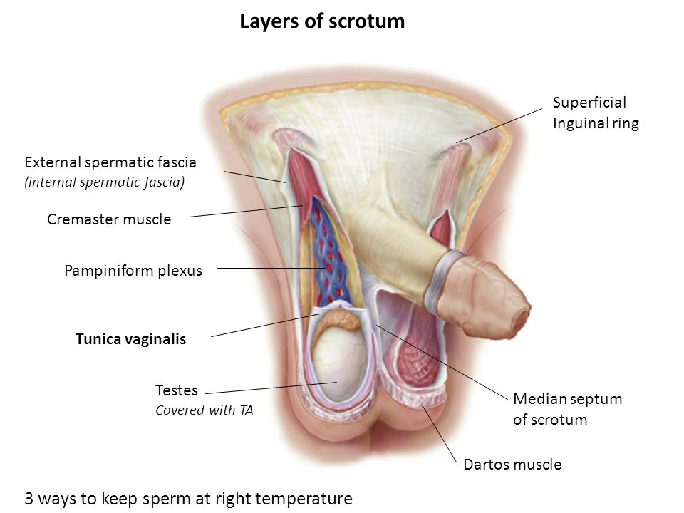 Layers of scrotum 3 ways to keep sperm at right temperature