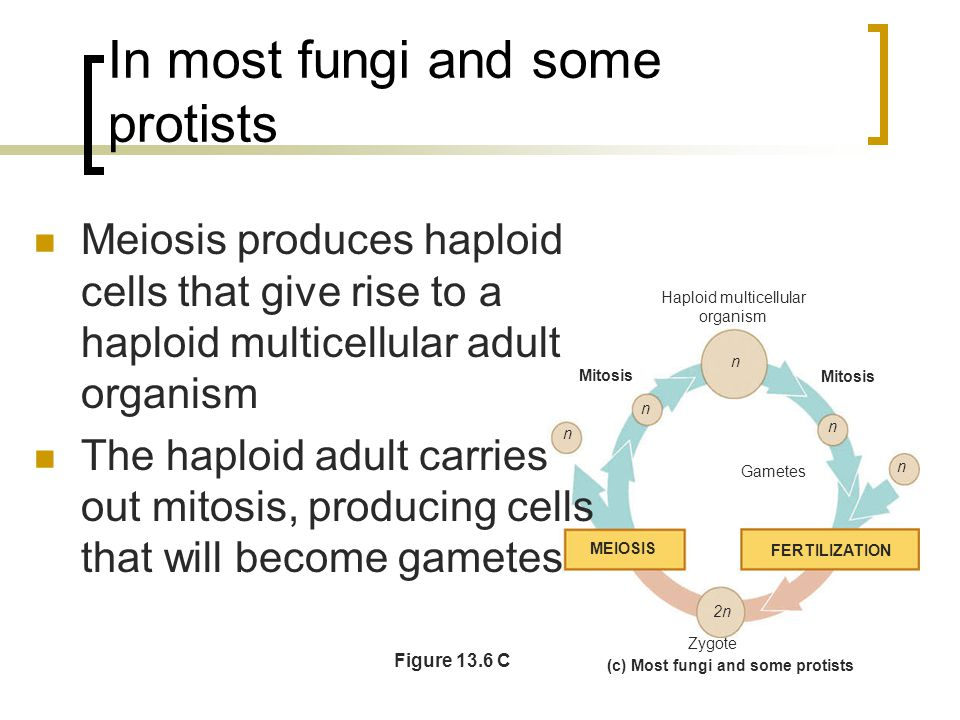 In most fungi and some protists