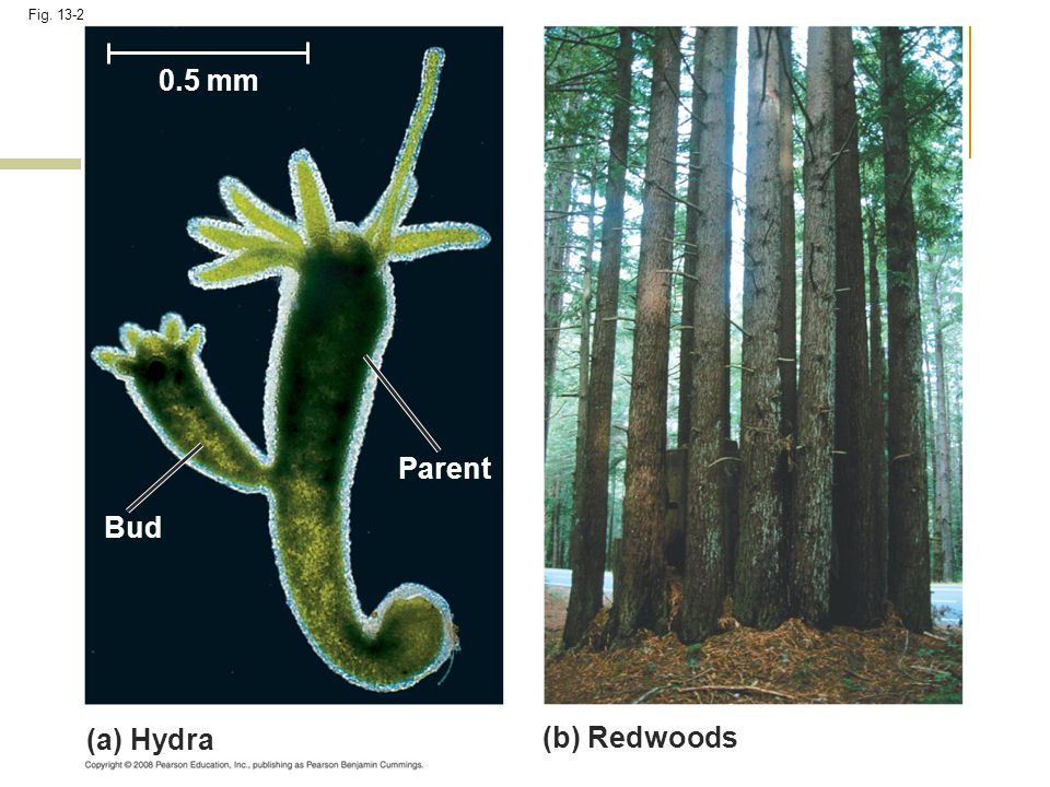 0.5 mm Parent Bud (a) Hydra (b) Redwoods