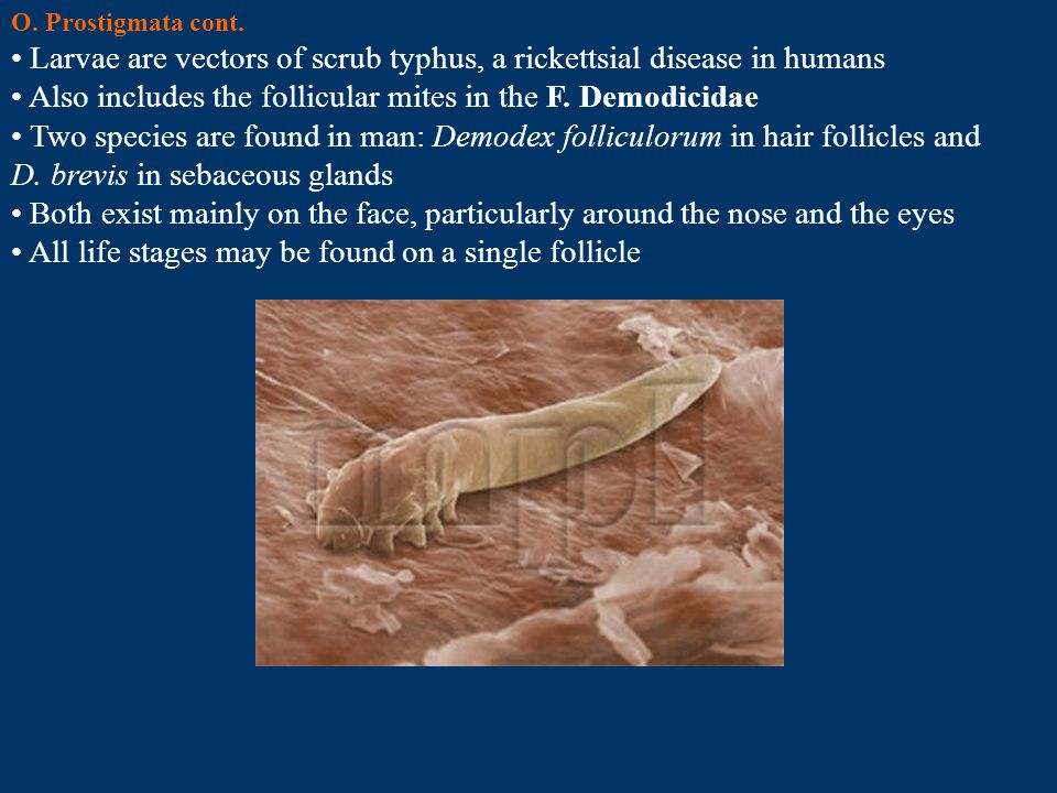 Larvae are vectors of scrub typhus, a rickettsial disease in humans