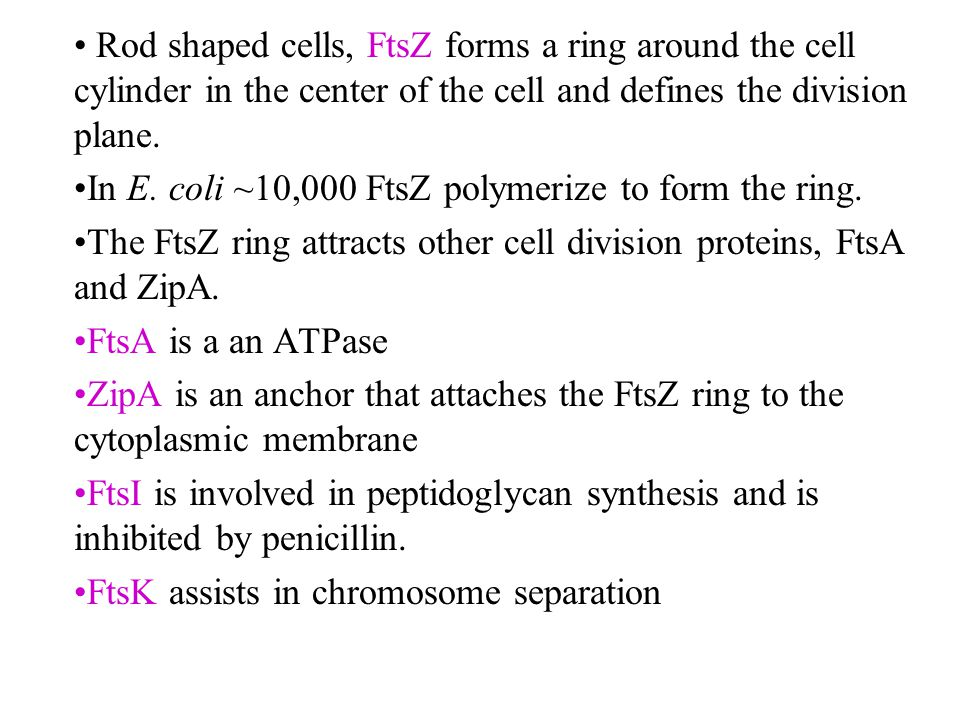 Rod shaped cells, FtsZ forms a ring around the cell cylinder in the center of the cell and defines the division plane.