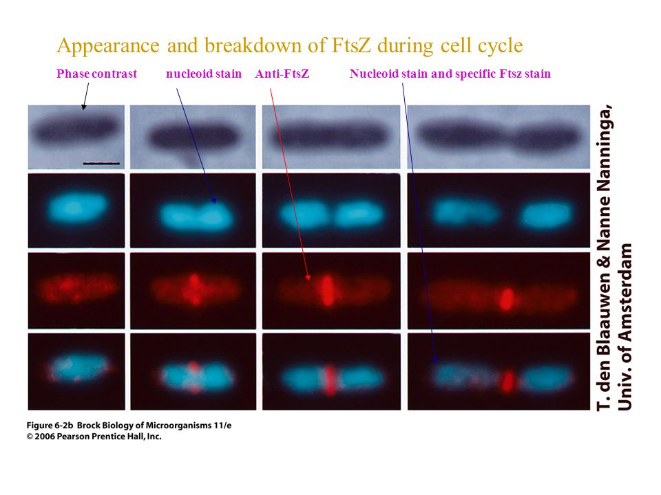 Appearance and breakdown of FtsZ during cell cycle