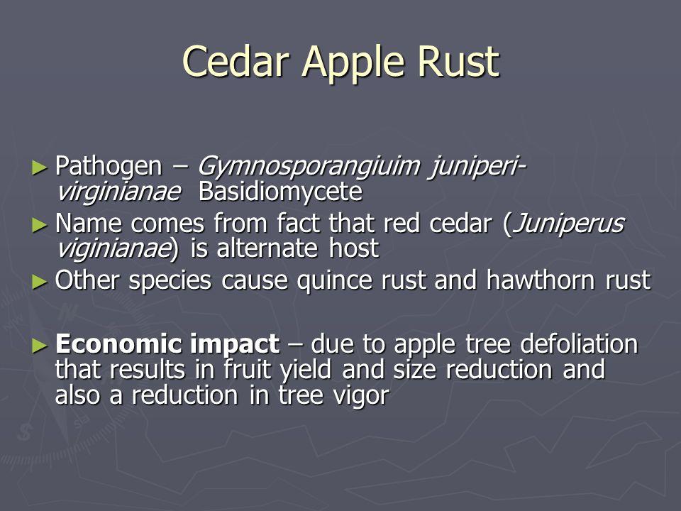 Cedar Apple Rust Pathogen – Gymnosporangiuim juniperi-virginianae Basidiomycete.