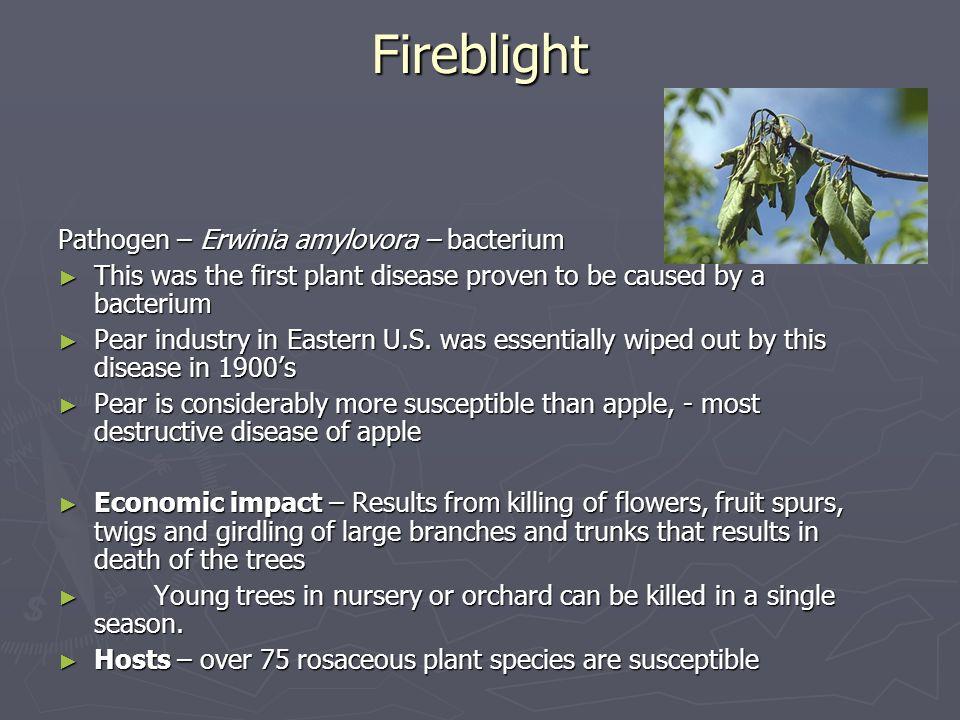 Fireblight Pathogen – Erwinia amylovora – bacterium