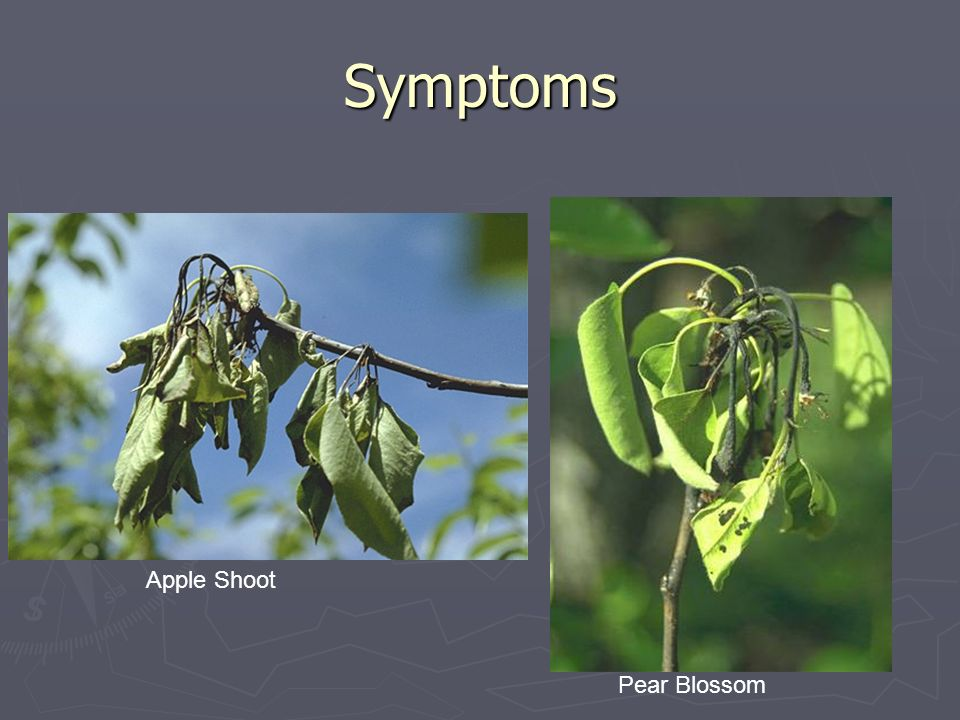 Symptoms Apple Shoot Pear Blossom
