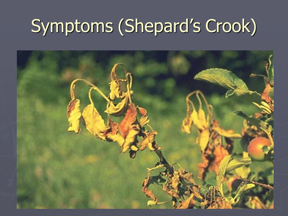 Symptoms (Shepard's Crook)
