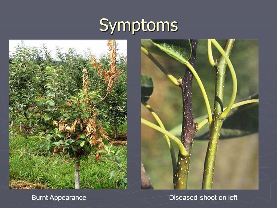 Symptoms Burnt Appearance Diseased shoot on left
