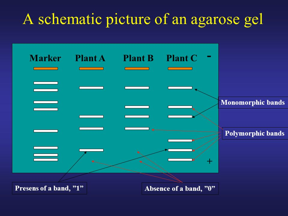 A schematic picture of an agarose gel